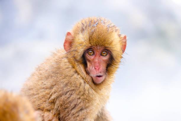 close up portrait of cute wild baby snow monkey at jigokudani snow monkey park in yamanouchi town, nagano, japan - macaco foto e immagini stock