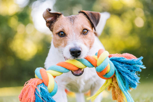 Close up portrait of dog playing fetch with colorful toy rope picture id1021844152?b=1&k=6&m=1021844152&s=612x612&w=0&h=kugbju rwpbtkrk36x6df kwwnlpuyyzqdraoqp95uq=