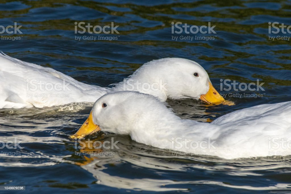 Close up portrait of domestic pekin ducks (Anas platyrhynchos domesticus) feeding in the wild stock photo