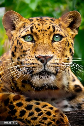 This close up portrait of an endangered Amur Leopard was shot at a local zoo in a light overcast condition at an after hours event.