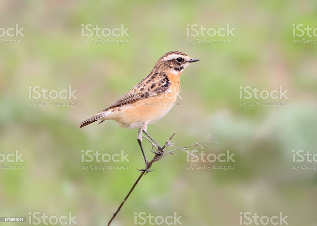 Close up portrait of  female whinchat (Saxicola rubetra) in breeding plumage isolated on blurry green background stock photo