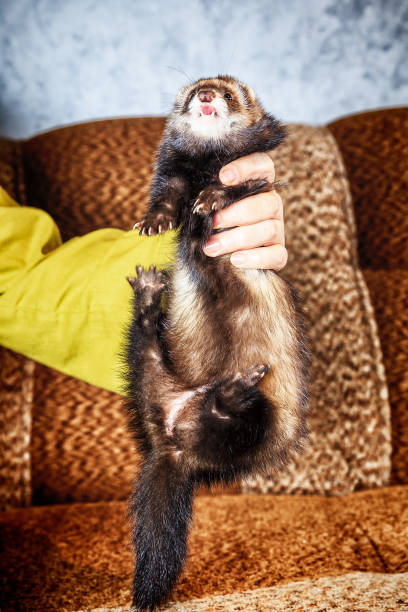 close up portrait of ferret in woman hands - carnivora stock photos and pictures