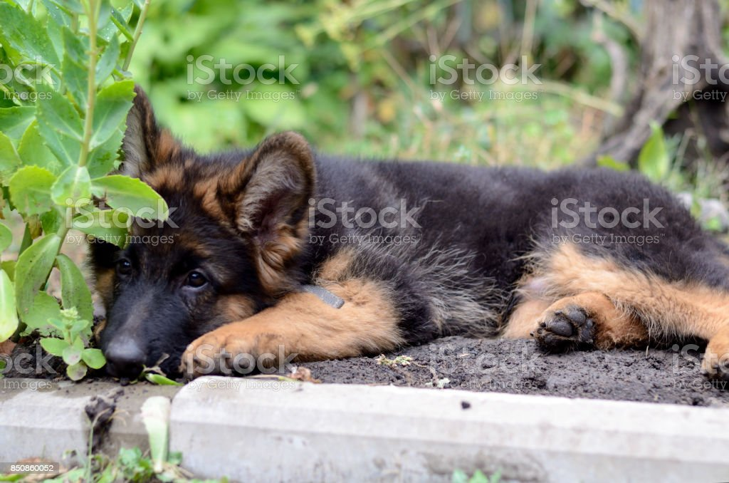 Close Up Portrait Of German Shepherd Puppy Cute Fluffy Little Pet Stock Photo Download Image Now Istock