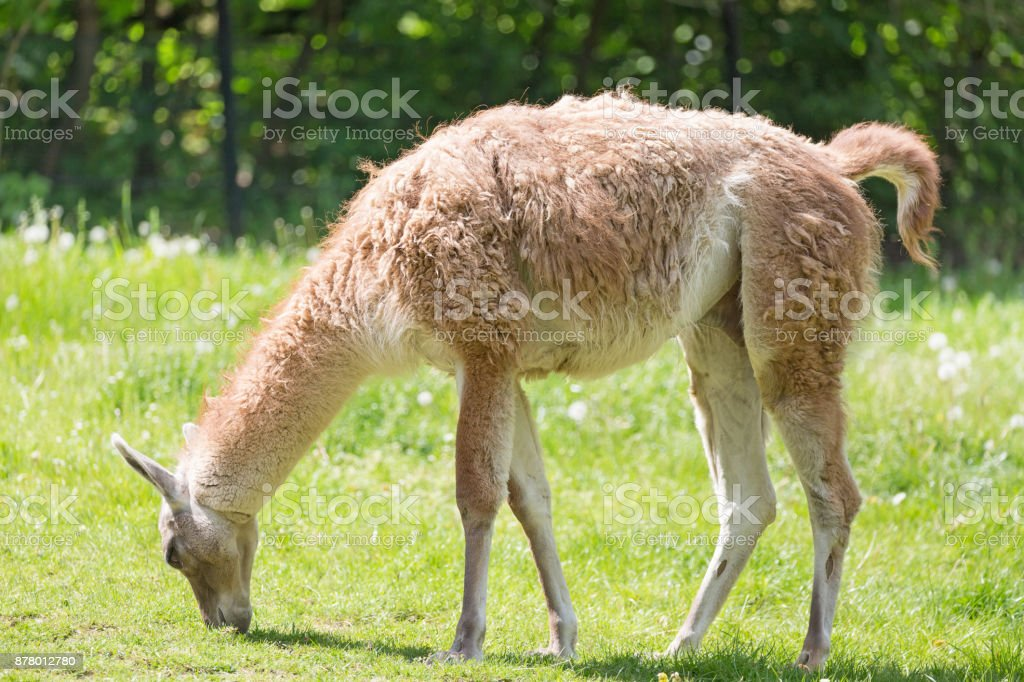 Close up portrait of grazing Guanako llama Lama guanicoe on green grass. stock photo