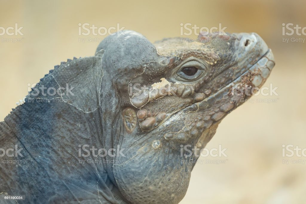 Close up portrait of head of a rhinoceros iguana stock photo
