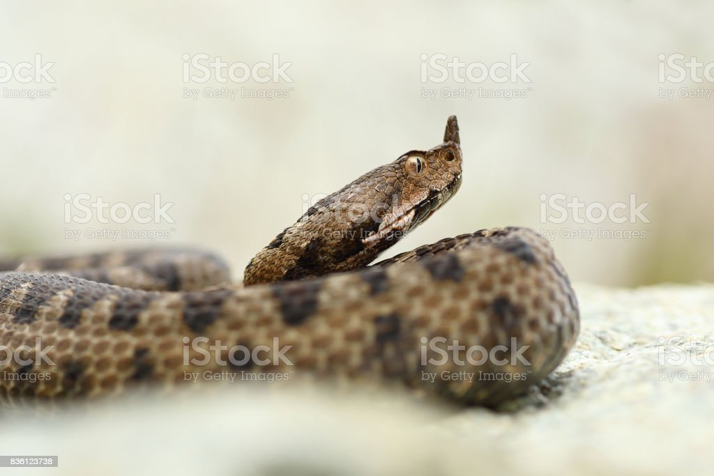 close up portrait of horned adder stock photo