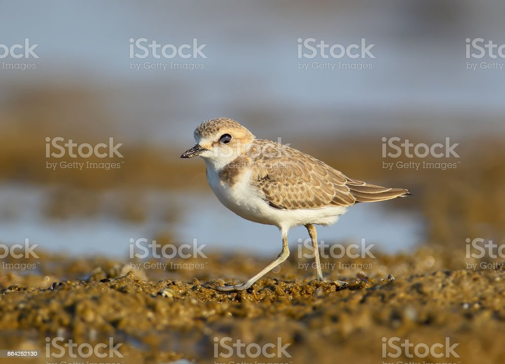 Close up portrait of  Kentish plover royalty-free stock photo