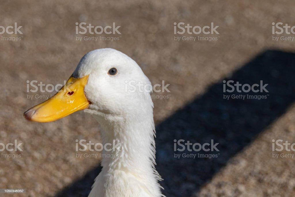 Close up portrait of large white Pekin Duck (Anas platyrhynchos domesticus) stock photo