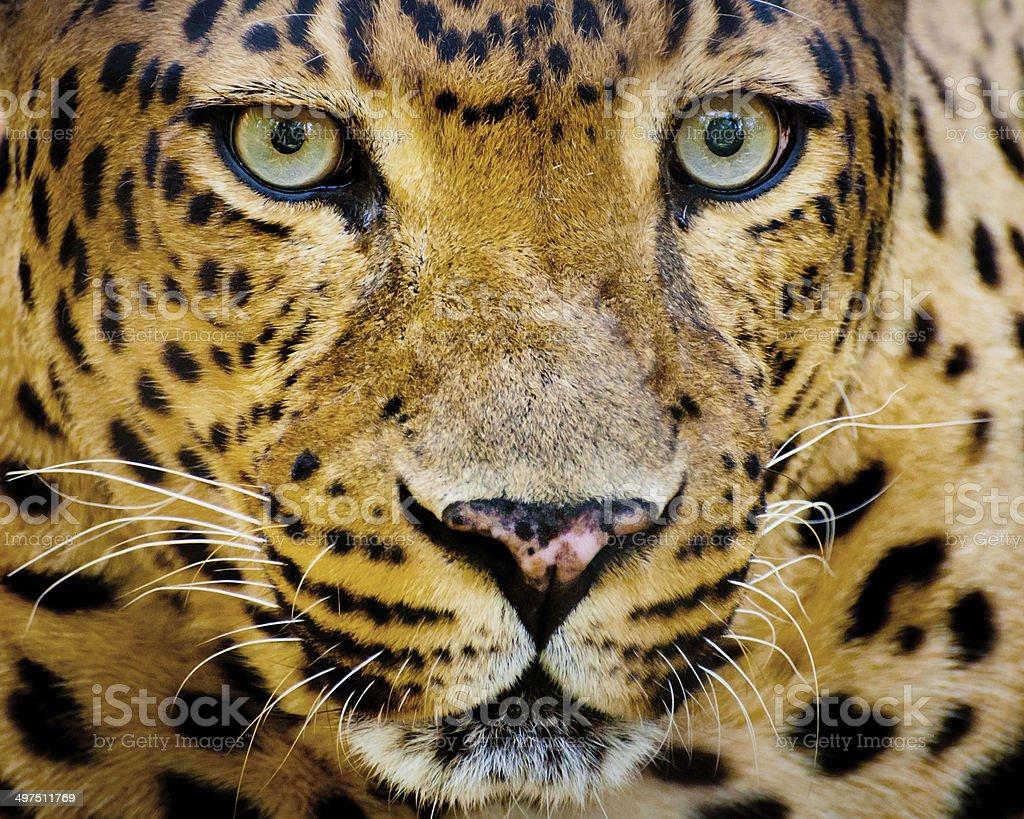 Close up portrait of leopard stock photo