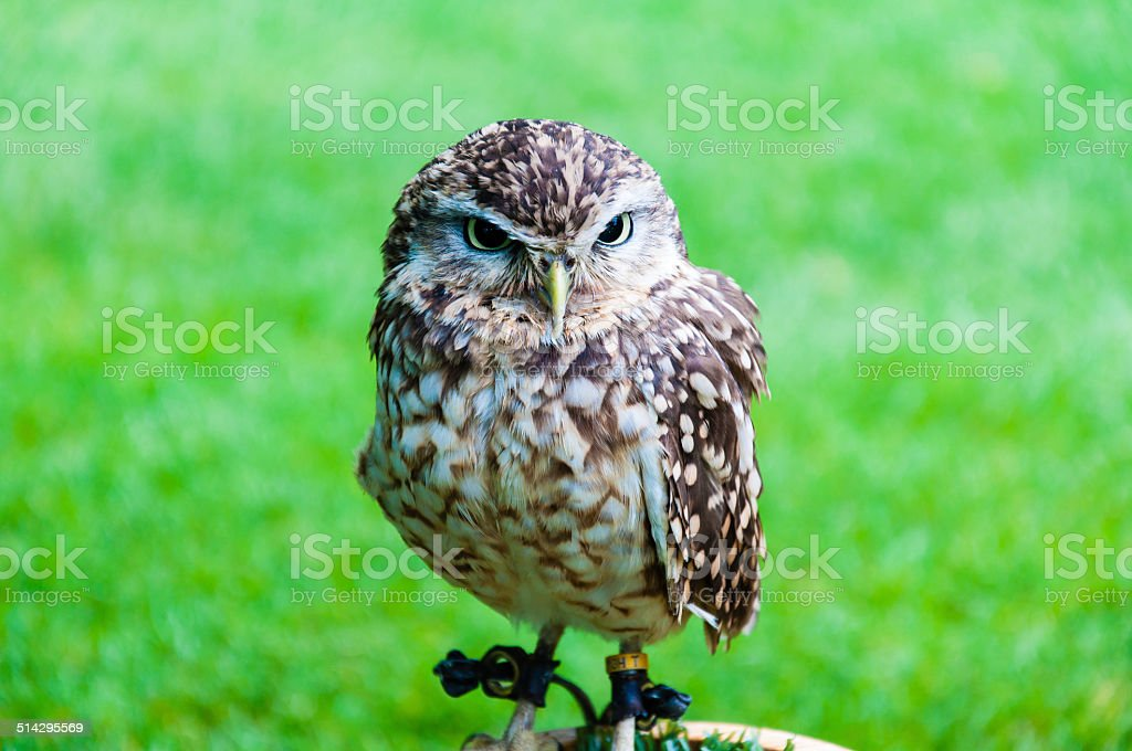 Close up portrait of little Owl against green background stock photo