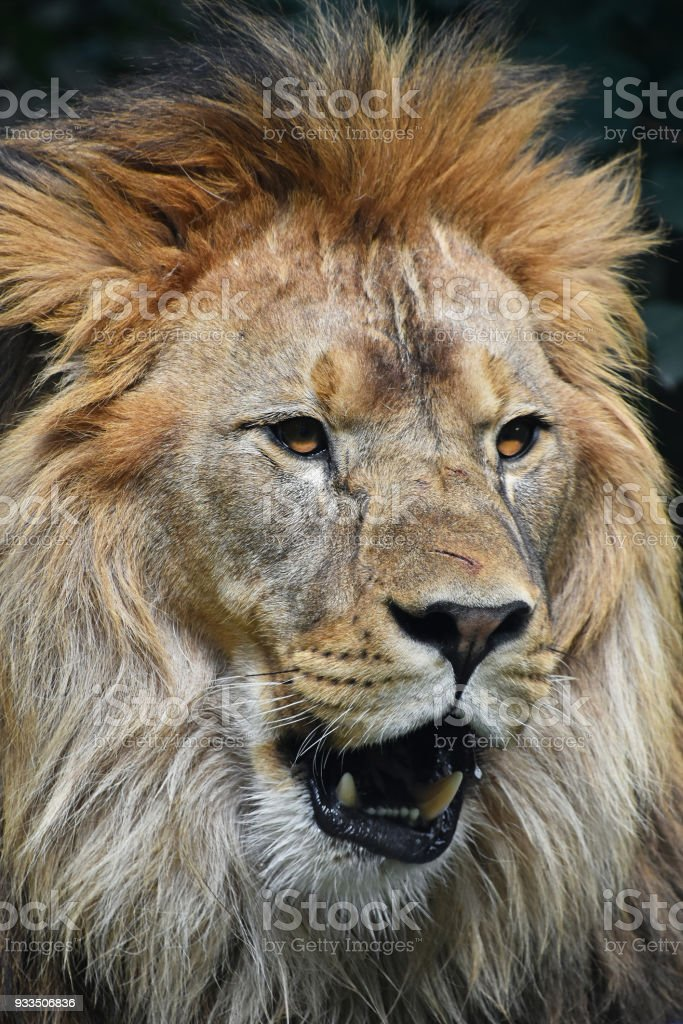Erkek Afrika aslanı portresi kapatın stok fotoğrafı