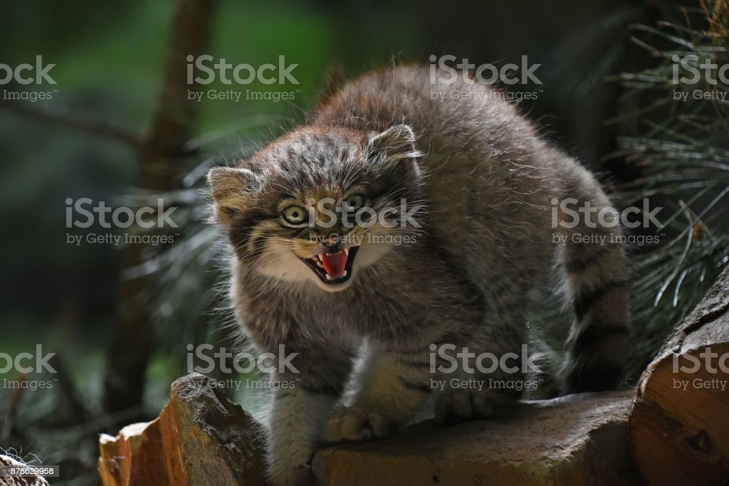 Close up portrait of manul kitten hissing stock photo