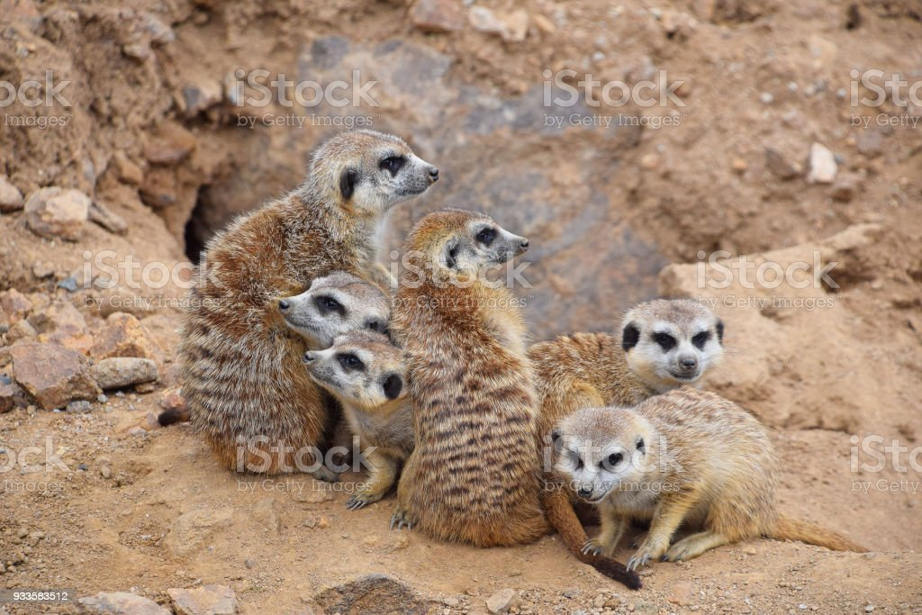 Close up portrait of meerkat family looking away stock photo