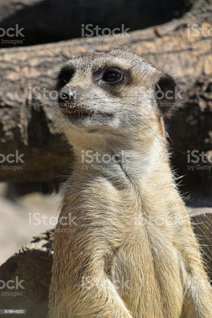 Close up portrait of meerkat watching alerted stock photo