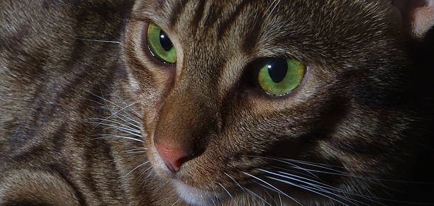 close-up ritratto di ocicat con illuminazione laterale - ocicat foto e immagini stock