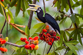 Close up portrait of Oriental pied hornbill(Anthracoceros albirostris) with red fruit in nature