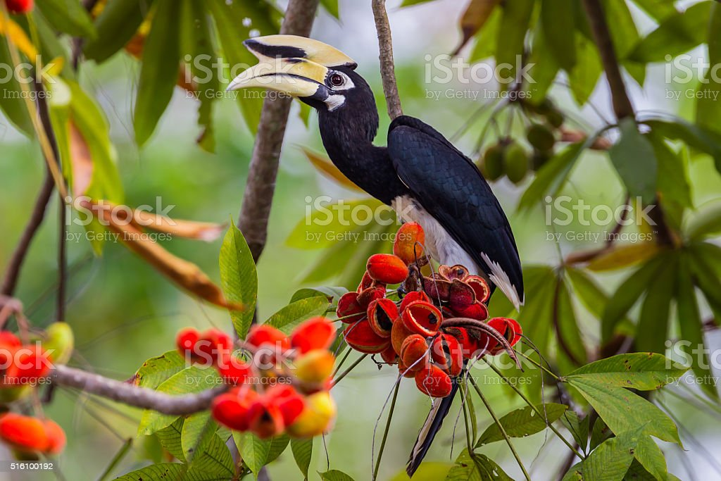 Close up portrait of Oriental pied hornbill(Anthracoceros albirostris) stock photo