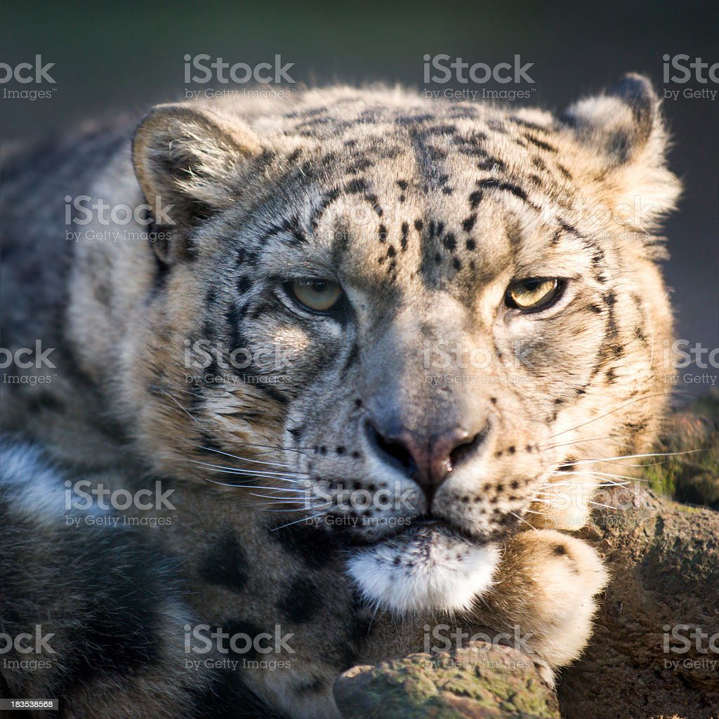 Close up portrait of Snow Leopard royalty-free stock photo