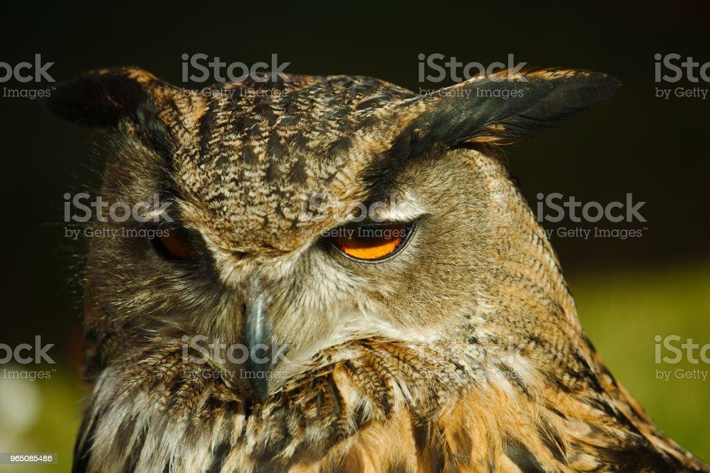 Close up portrait of the European eagle-owl zbiór zdjęć royalty-free