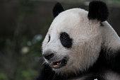 Portrait of the endangered Giant Panda bear, the unique animal inhabit the world. The Chengdu Giant Panda breeding base.