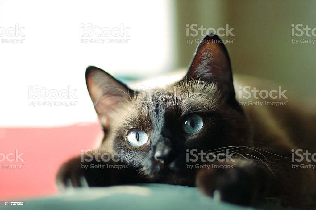 Close up portrait of the siamese cat stock photo
