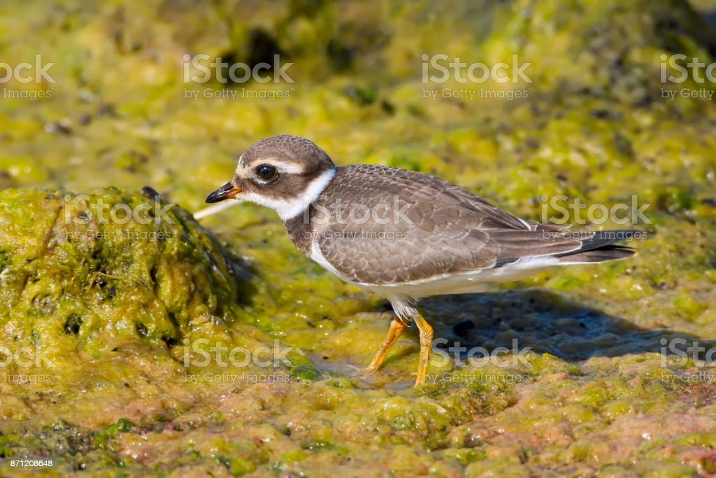 Close up portrait of The young common ringed plover or ringed plover (Charadrius hiaticula) stock photo