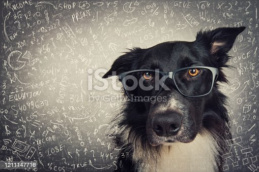 Close up portrait of thoughtful dog wearing glasses. Purebred Border Collie nerd over grey background solving hard mathematics calculation and equations. Back to school, animal intelligence concept.