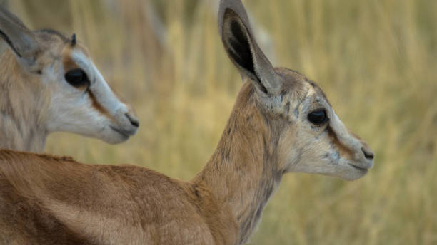 A close up portrait of two young Impalas stock photo