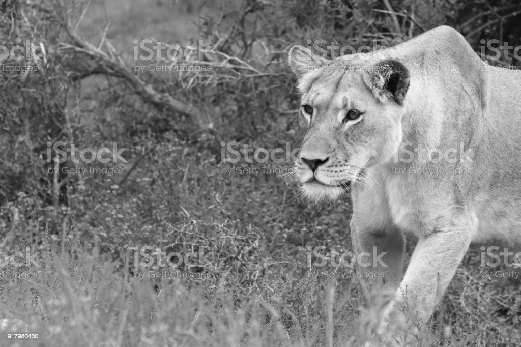 A Close Up Portrait Shot Of A Lioness In The Wild This Is A Black