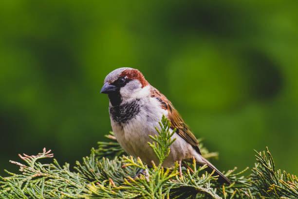 nahaufnahme porträt von house sparrow (passer domesticus) - dokumentation stock-fotos und bilder