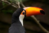 This close up image shows a beautiful portrait view of a colorful toco toucan (Ramphastos toco).