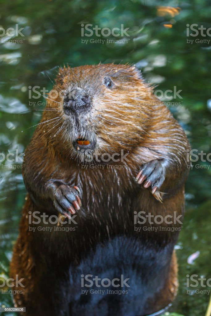 close up portrait view of a beaver standing – Foto