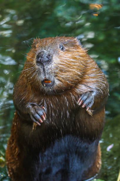 close up portrait view of a beaver standing - Photo