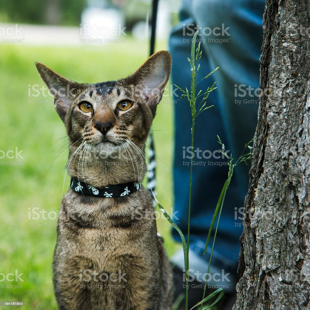 close up potrait cat in harness stock photo