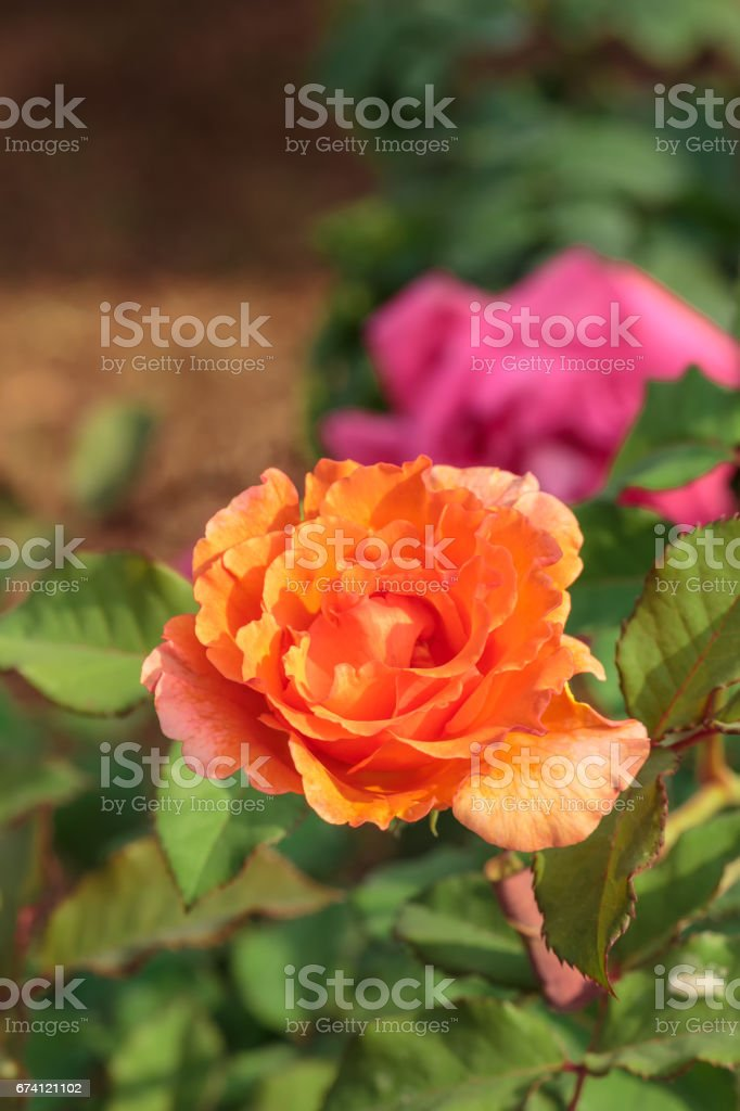 close up pretty orange rose in the garden royalty-free stock photo