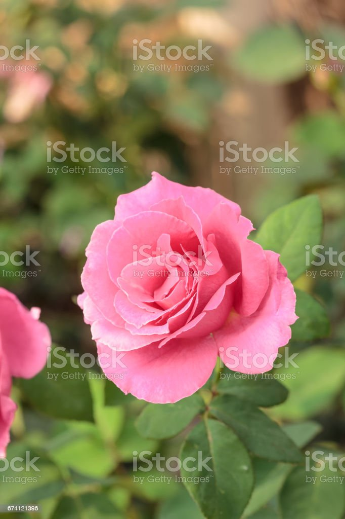 close up pretty pink rose in the garden 免版稅 stock photo