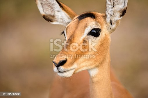 A close up profile portrait of a female black-faced Impala, showing a big black eye, snout, nose, mouth and ears, taken in the Chobe River, Botswana