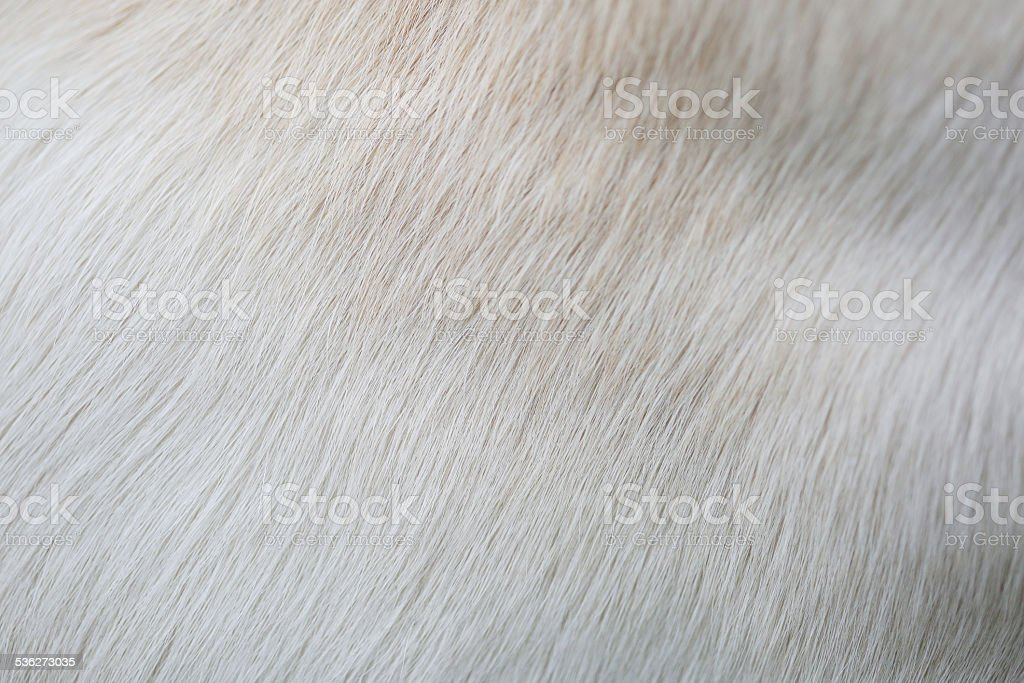 Close up puppy Lab Dog fur textures stock photo