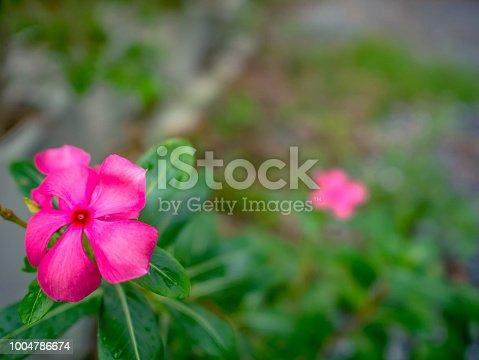 Close up Purple Adenium Flowers,Beautiful nature