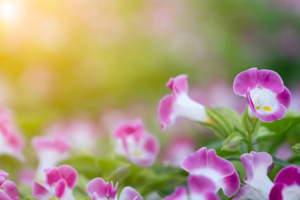 bouchent violet et blanc fleur floue de verdure laisse avec jaune soleil dans public parc et matin temps. concept de fraîcheur, - couleur des végétaux photos et images de collection