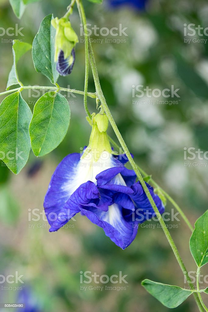 Close up Purple Butterfly pea Flower stock photo
