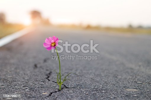 istock close up, purple flower growing on crack street background. 1206799011