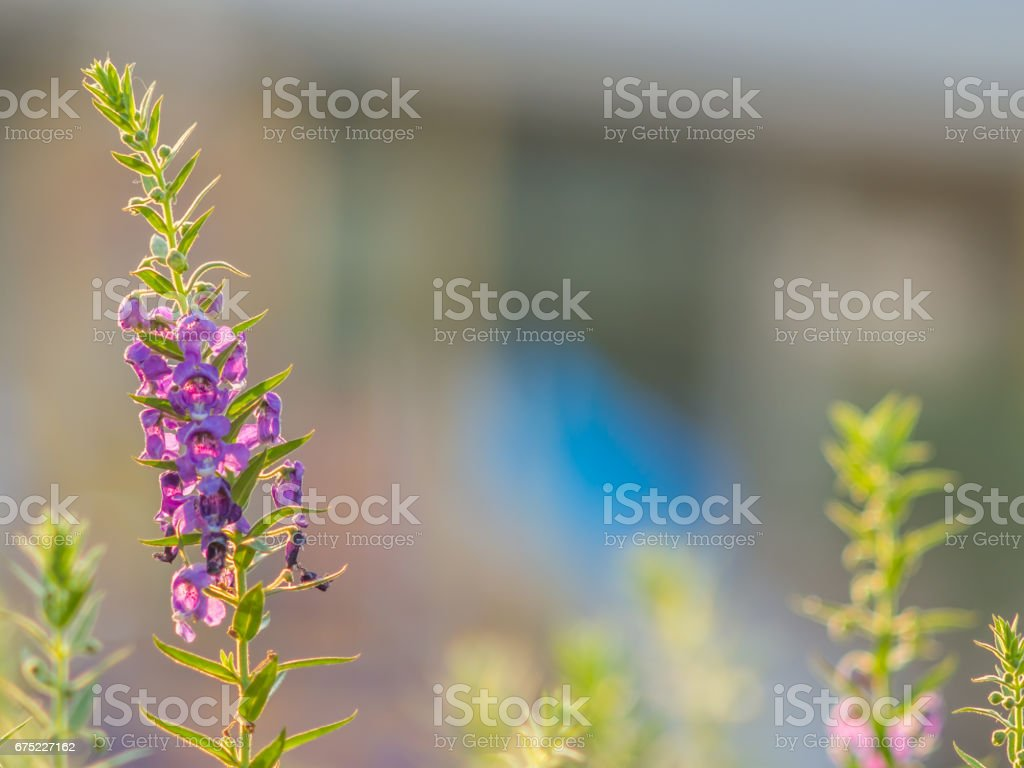 Close up purple flower on nature background, purple flower background. royalty-free stock photo