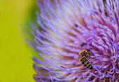 Close Up Purple Flowering Artichoke