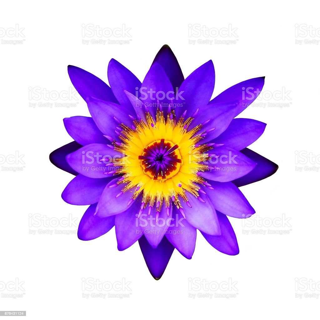 Close up purple lotus flower on a white background top view stock close up purple lotus flower on a white background top view royalty free stock izmirmasajfo