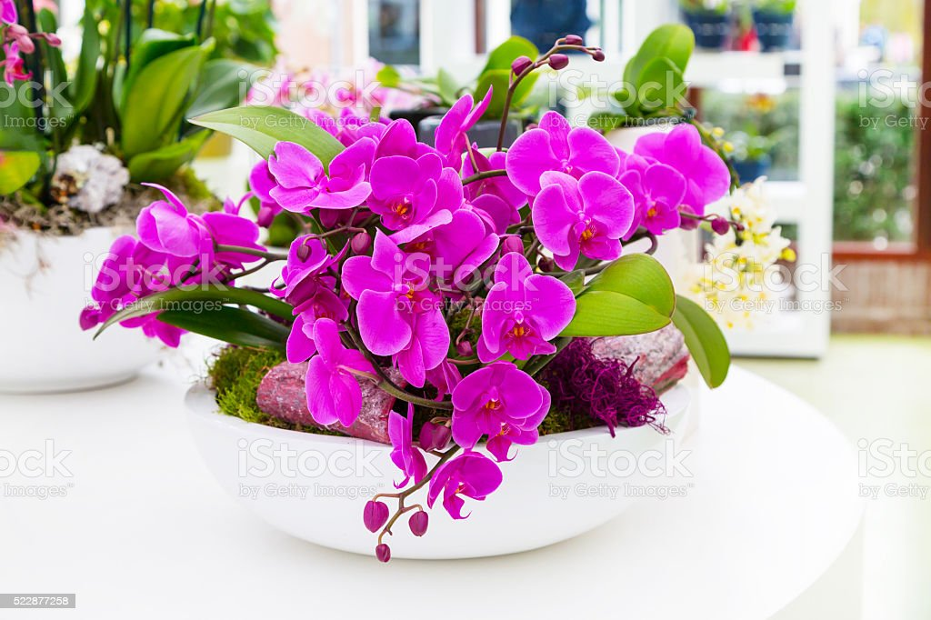Close up purple orchid flower background in flowerpot stock photo