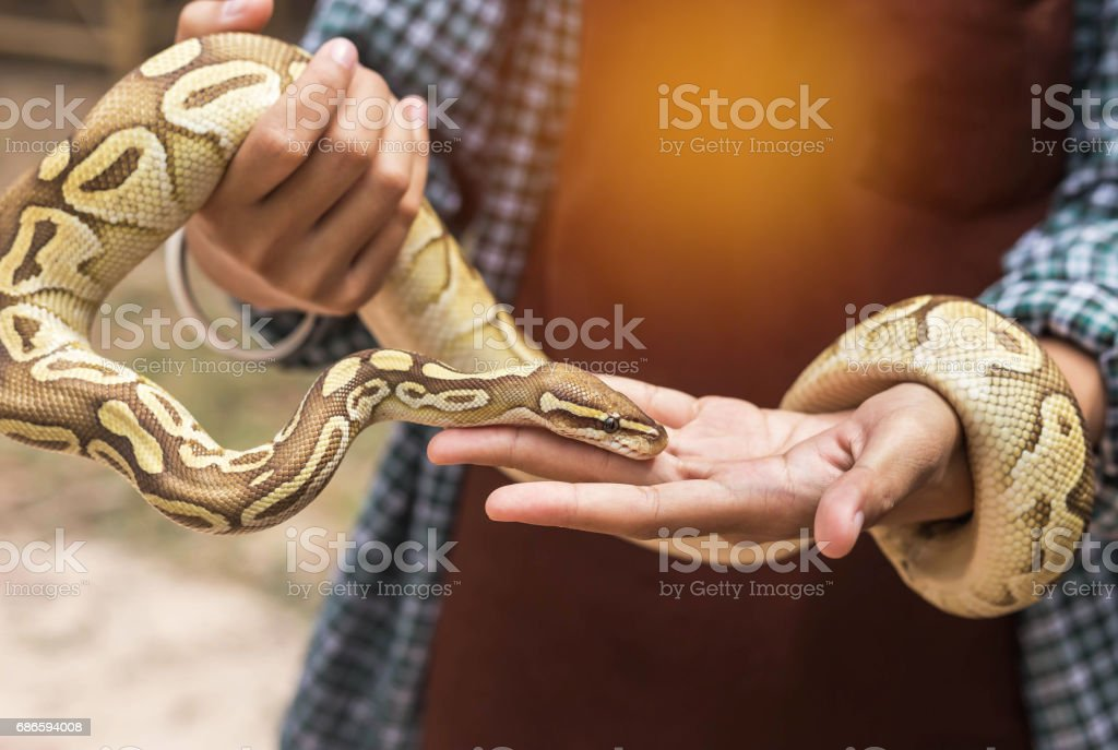 close up python bivittatus or burmese python snake royalty-free stock photo