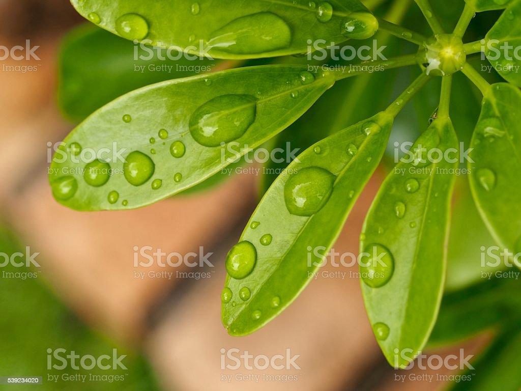Close up : raindrops on green leaf foto de stock libre de derechos