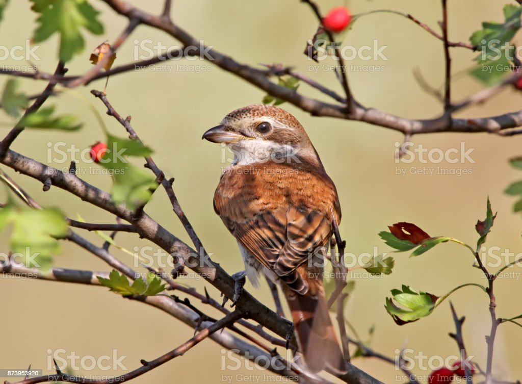 Close up rear view portrait of a red backed shrike with red berries on the background stock photo