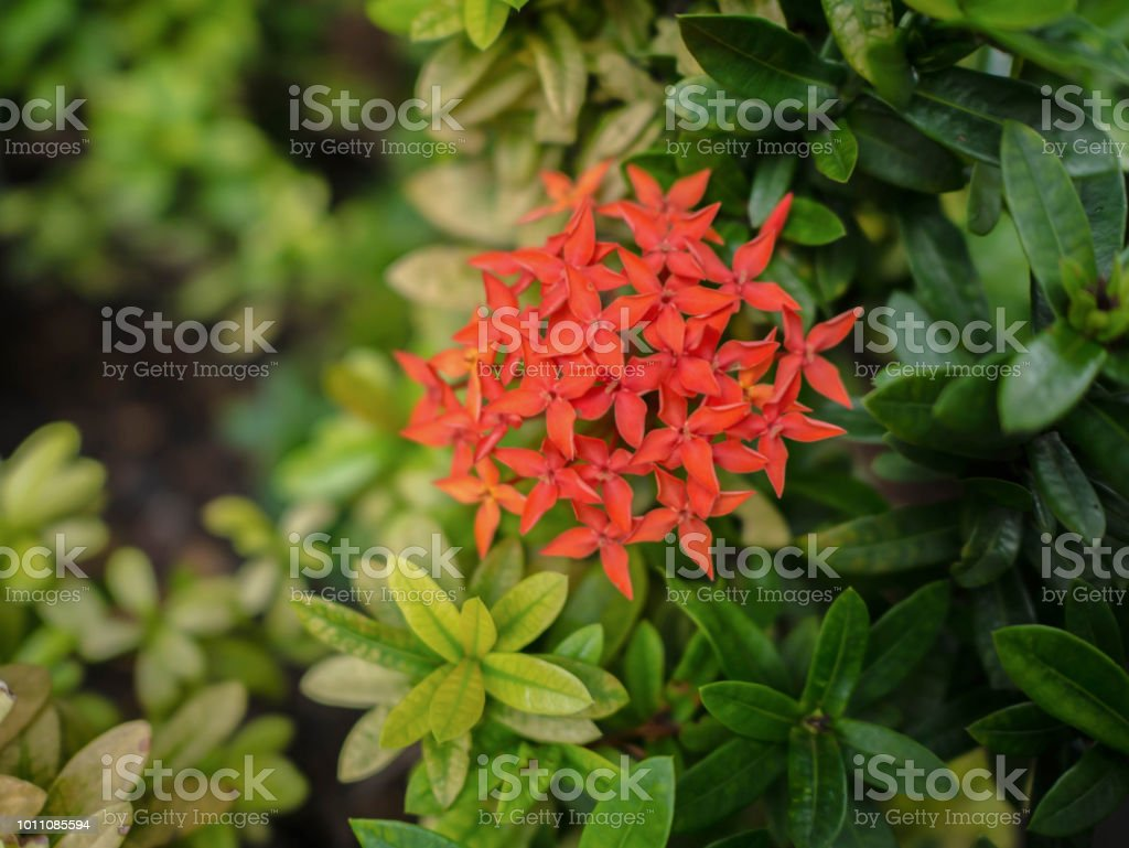 Close up red west indian jasmine flowers stock photo more pictures close up red west indian jasmine flowers royalty free stock photo izmirmasajfo